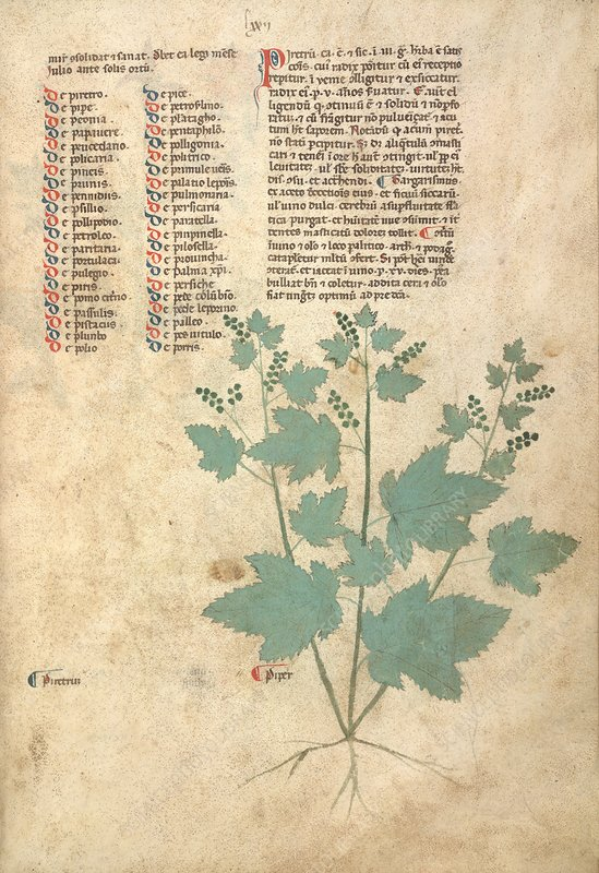 Pepper plant, 13th-century herbal