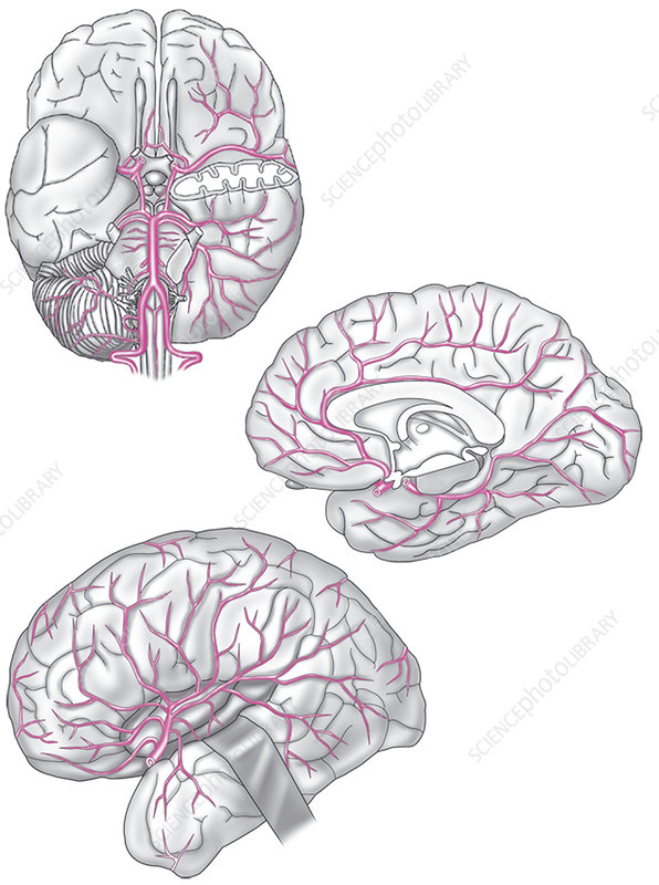 Cerebral Artery, Illustration