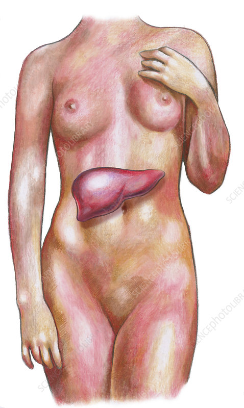 Female Body With Liver