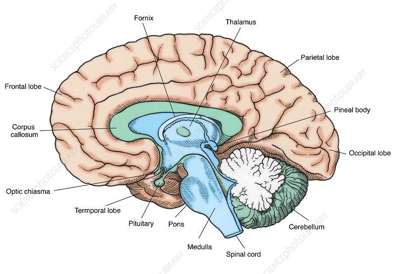Illustration of Human Brain - Stock Image - C017/2581 ...