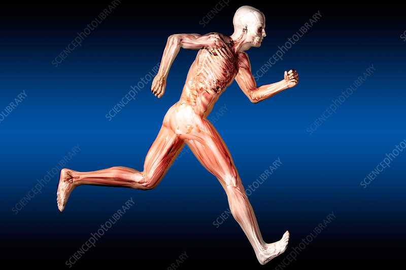 Anatomical View of Running Man