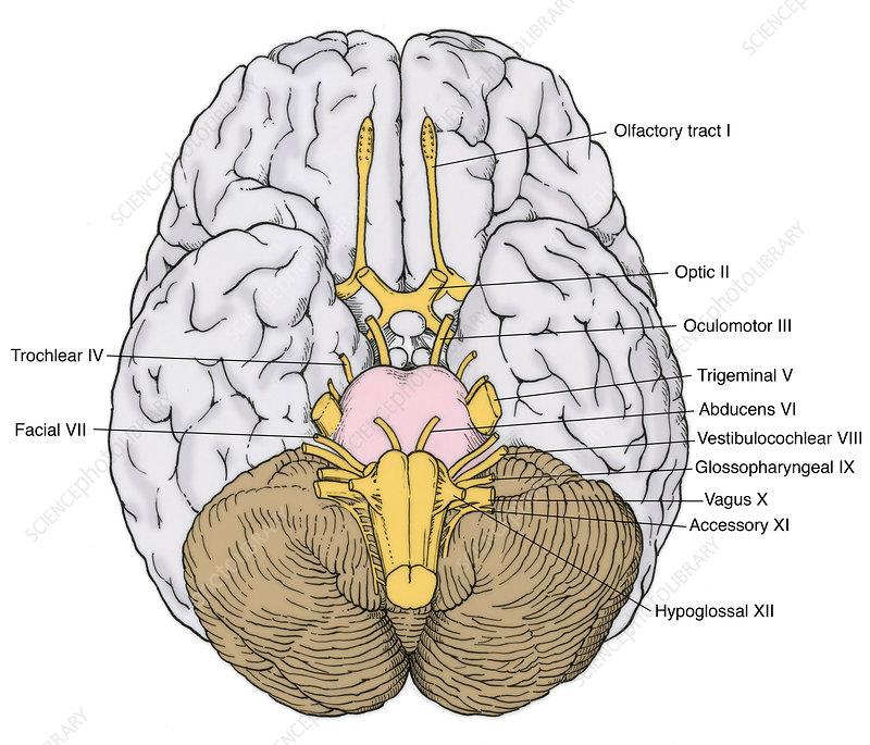 Illustration of Cranial Nerves - Stock Image - C017/2643 ...