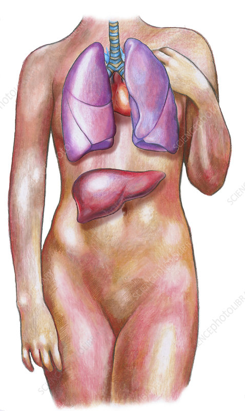 Female body with lungs and liver stock image c0172663 science female body with lungs and liver ccuart Choice Image