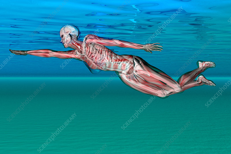 Anatomical View of Female Swimmer