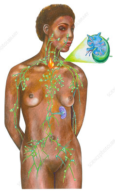 Lymphatic System on a Female Figure