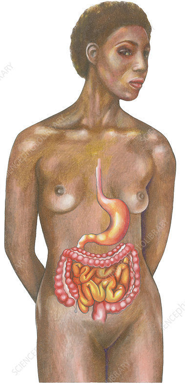 Digestive System on a Female Figure
