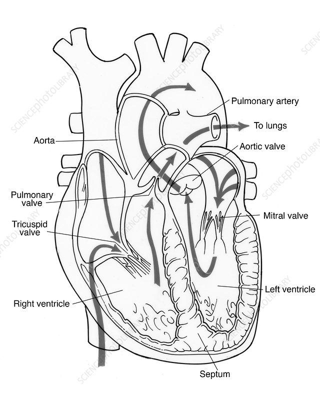 Illustration of Coronary Circulation - Stock Image - C017 ...