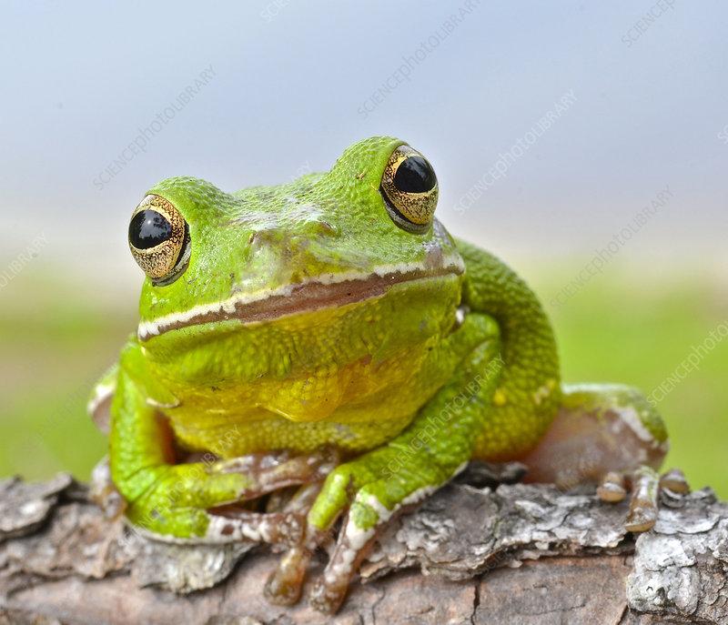 Tree Frog Frit Ball Assortment 96 Coe