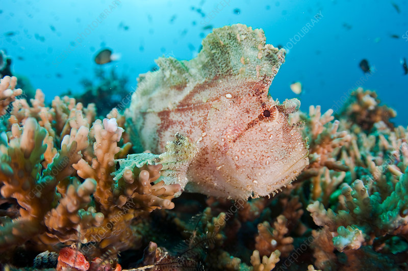 Leaffish, Fiji