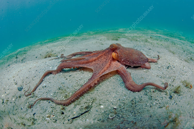 Long Arm Octopus