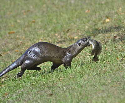 River Otter w fish