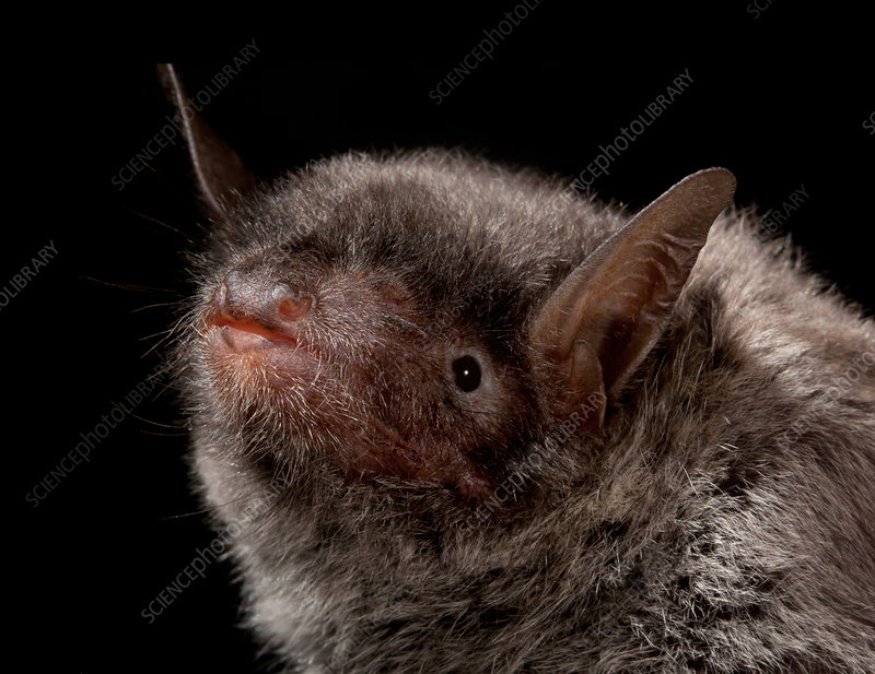 Chinese Myotis Bat