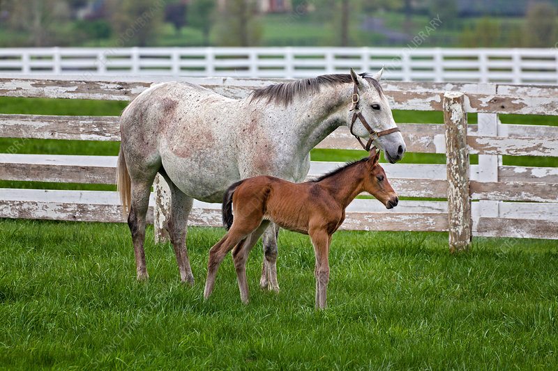 Thoroughbred and Foal