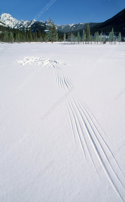 Owl WIng Marks on Snow