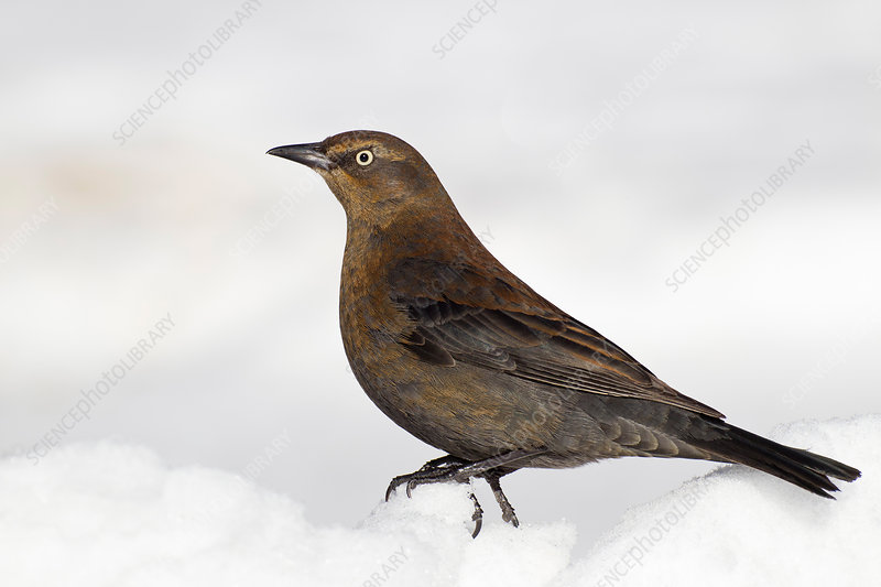 Rusty Blackbird on snow