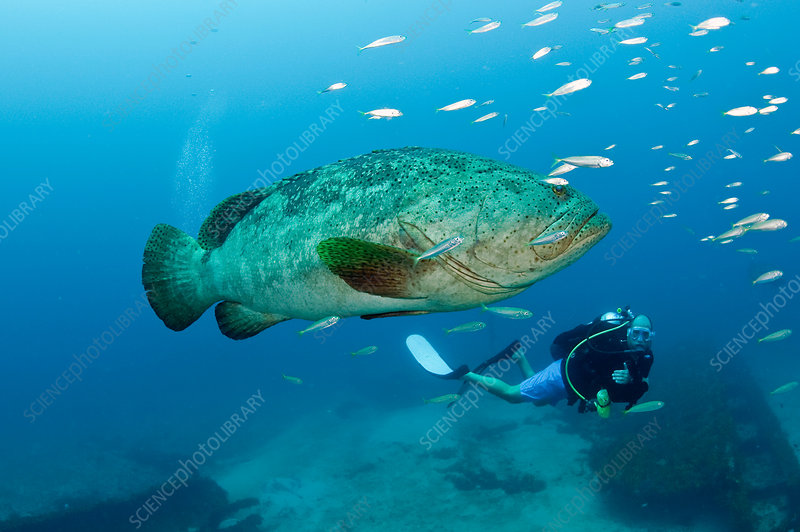 Diver and Goliath Grouper
