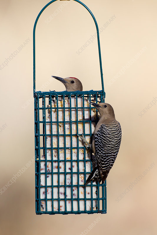 Gila Woodpecker on Feeder