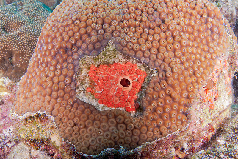 Red Boring Sponge on Coral