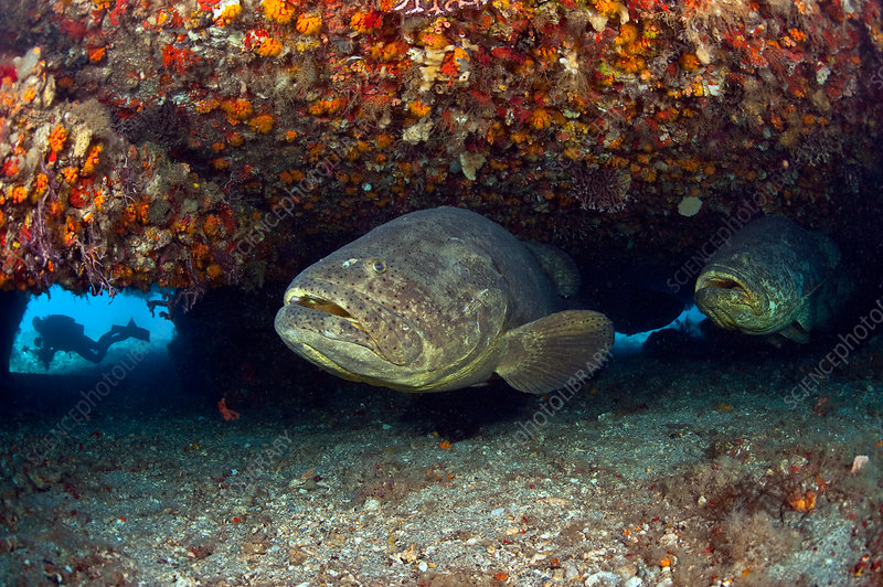 Endangered Goliath Grouper