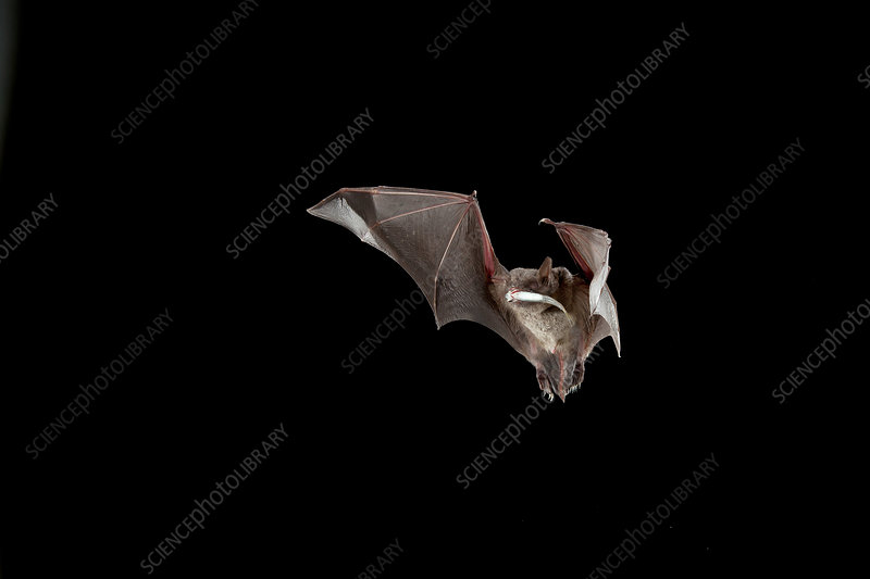 Rickett's Big-footed Myotis