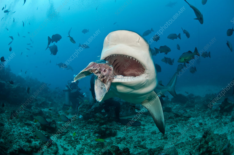 Shark feeder and Bull Shark