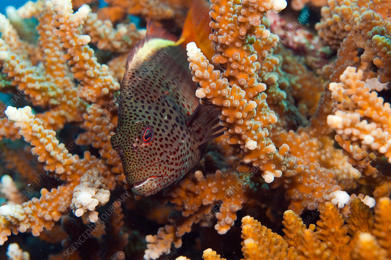 Foster's or Freckled Hawkfish