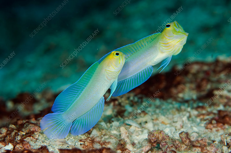 Yellow-headed Jawfish courting