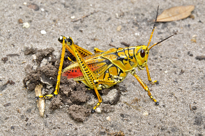 Southeastern Lubber Grasshopper Stock Image C017 3051 Science Photo Library
