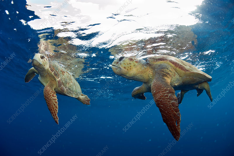 Loggerhead Sea Turtles Courting