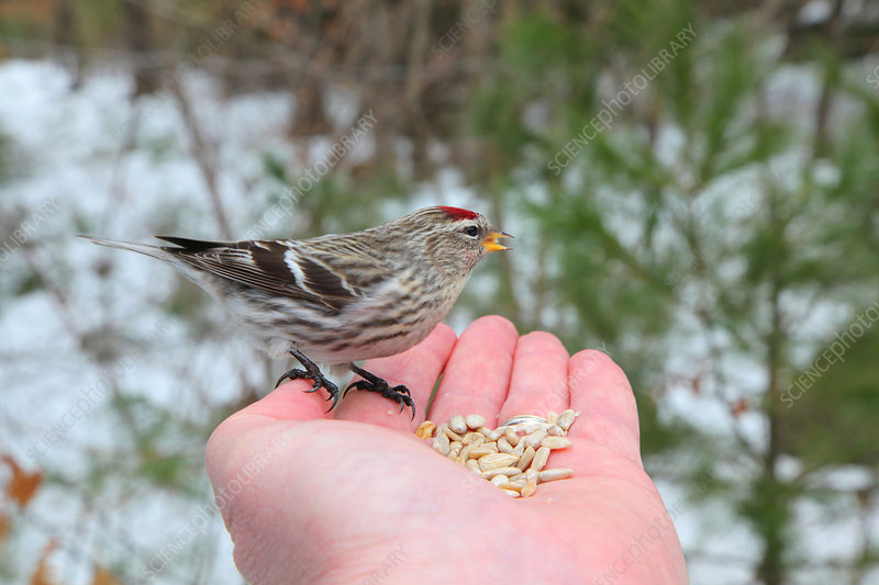 Redpoll eating seeds out of palm