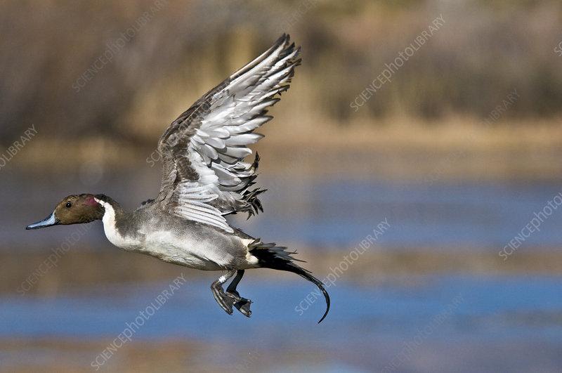 Northern Pintail Drake Taking Off