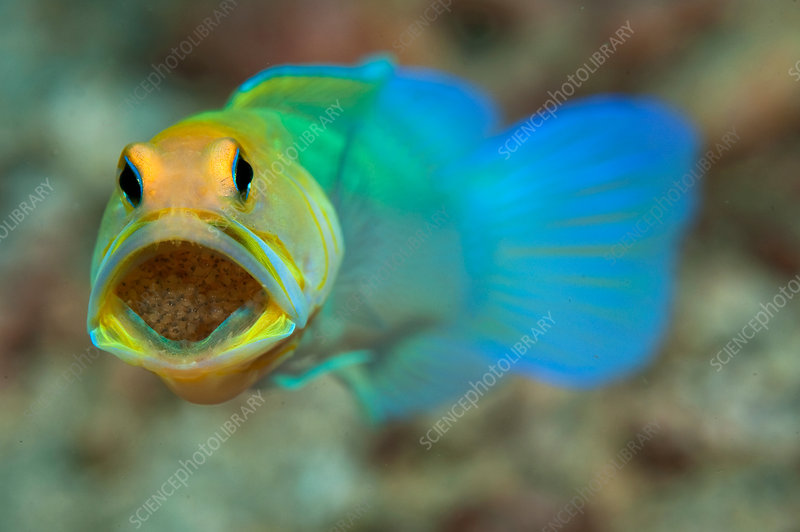 Male Yellowhead Jawfish incubating eggs