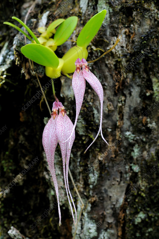 Epiphytic Rainforest Orchid
