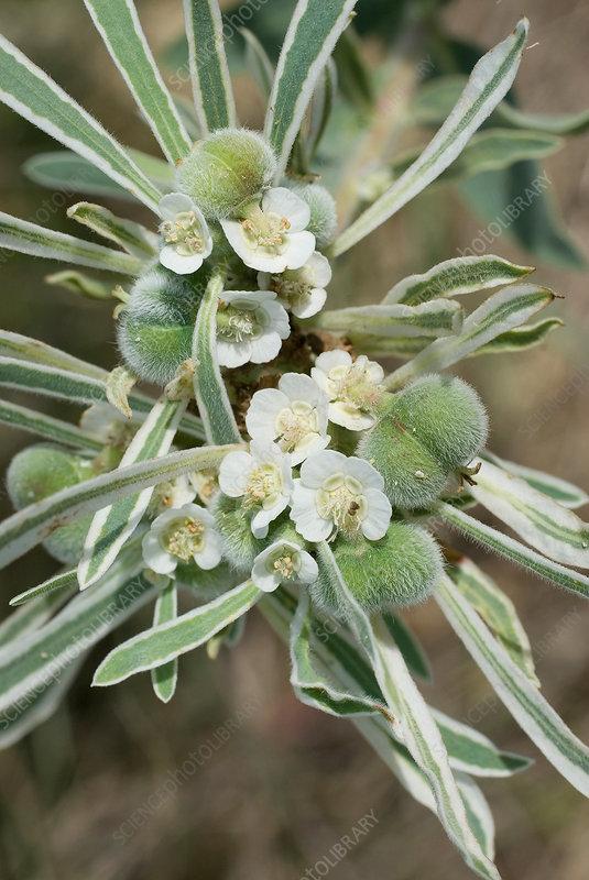 Snow-on-the-prairie, Euphorbia bicolor