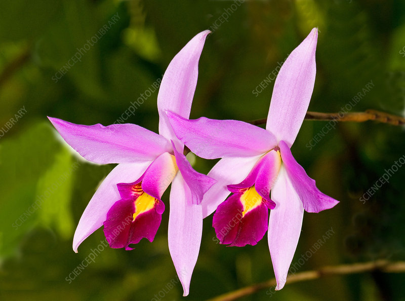 Sophronitis Orchid
