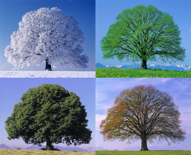 Linden Tree in Four Seasons