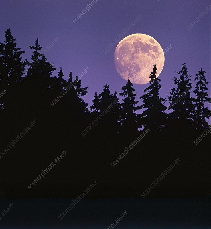 Moon over Spruce Trees