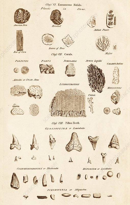 Assorted Fossils