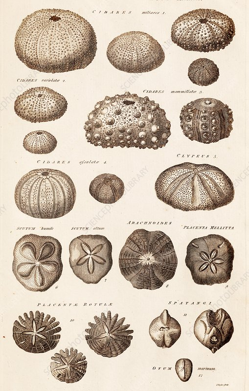 Fossil Sea Urchins, Echinoderms