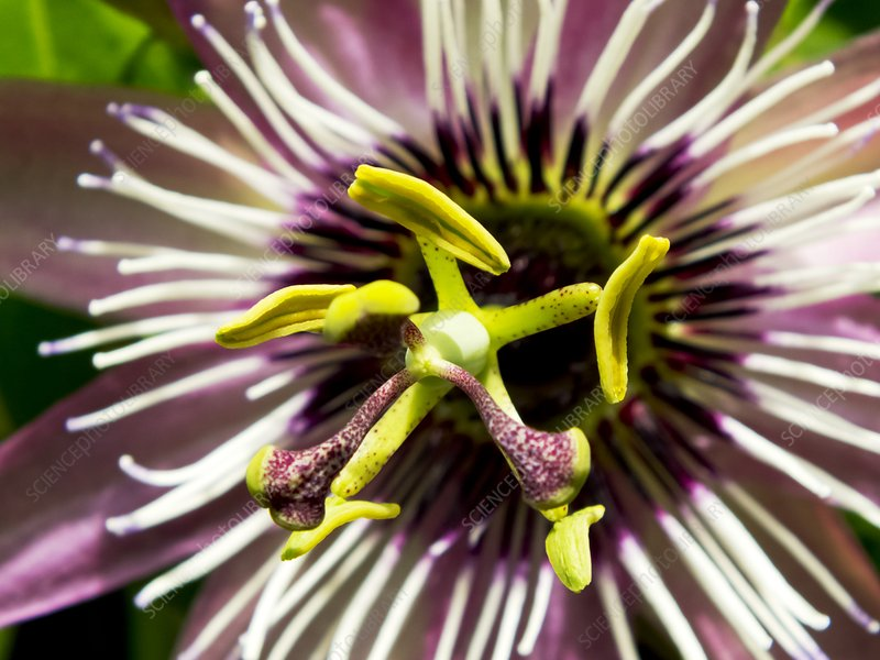 Passion Flower (Passiflora 'Victoria')