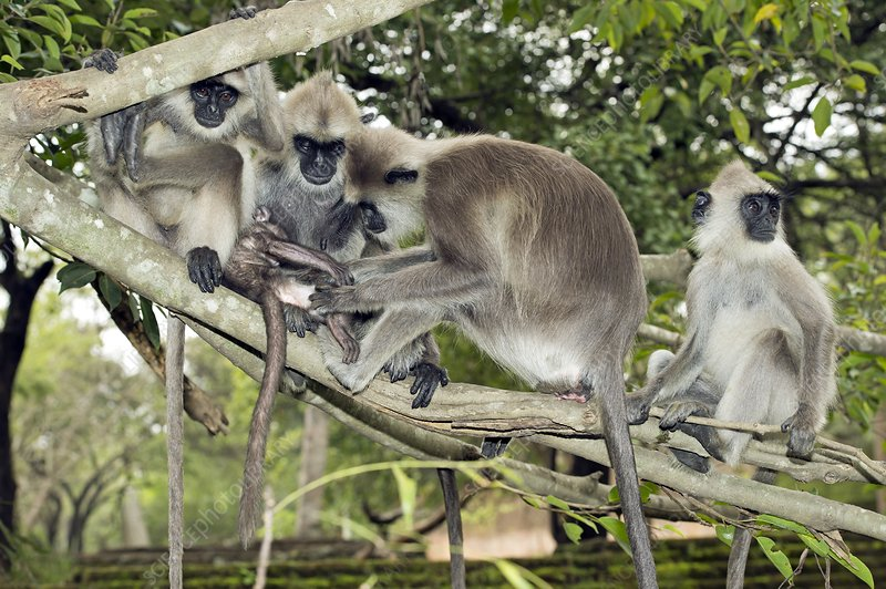 Tufted grey langurs