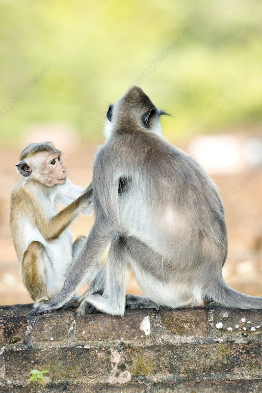Macaque and langur