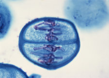 LM of Meiosis in Pollen Mother Cell - 6