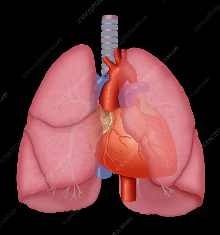 Lungs and heart
