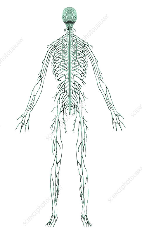 Human male nervous system