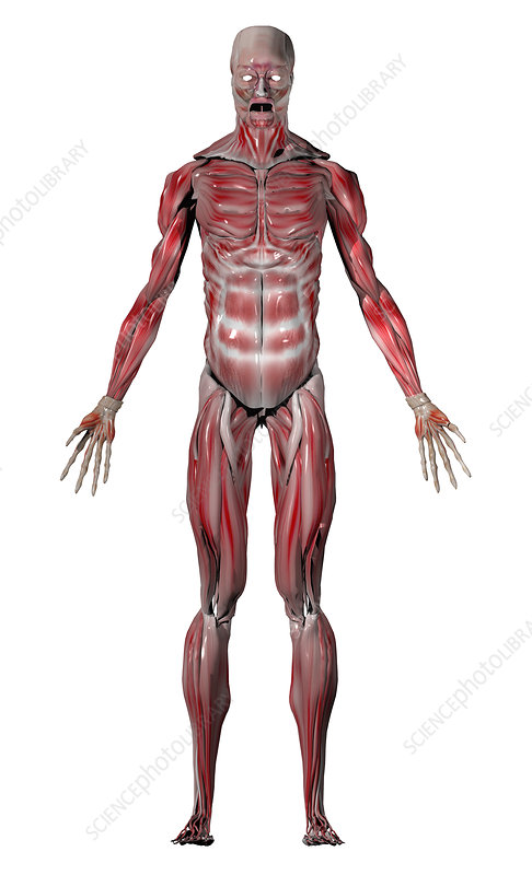 Human male muscular system