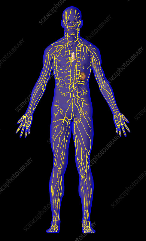 Human male lymphatic system