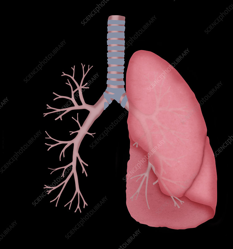 Normal lung and bronchial tubes