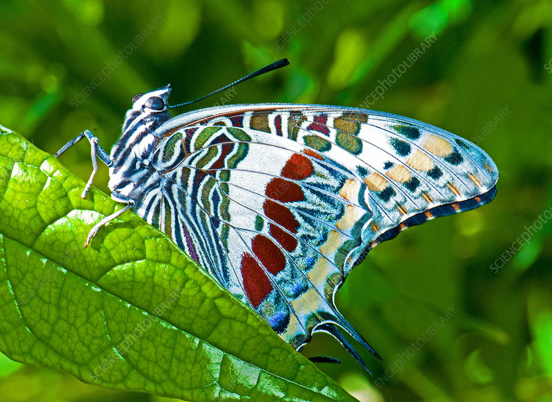 Giant Charaxes Butterfly