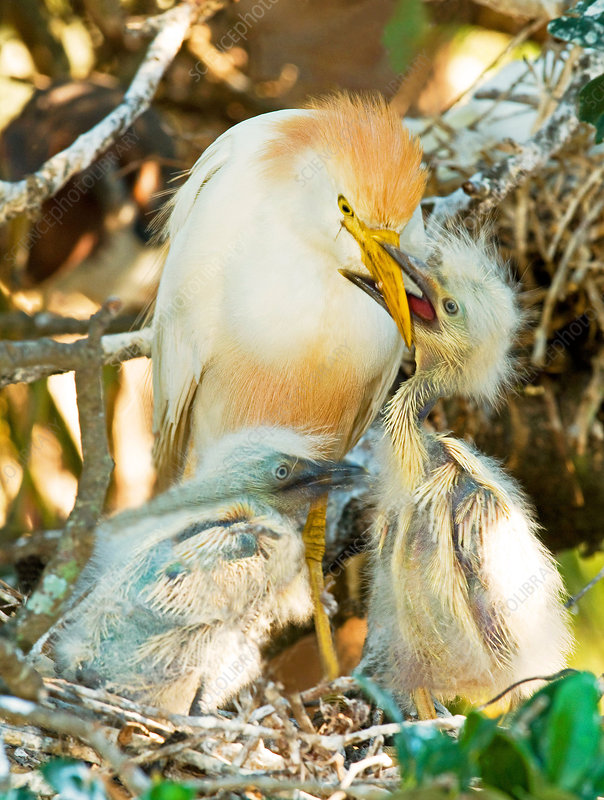 Cattle Egret with young in nest